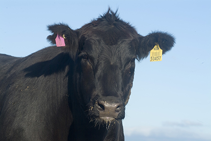 Black Onyx Cattle